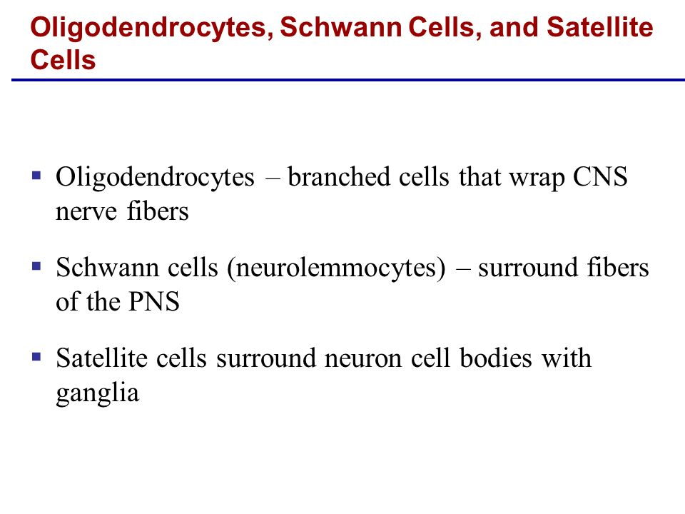 Oligodendrocytes – branched cells that wrap CNS nerve fibers Schwann cells (neurolemmocytes) – surround fibers of the PNS Satellite cells surround neu