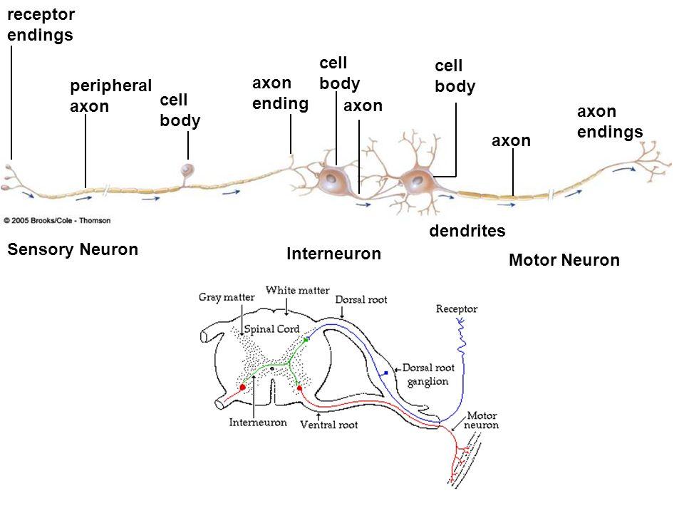 axon axon endings cell body dendrites axon cell body axon ending peripheral axon receptor endings Sensory Neuron Motor Neuron Interneuron cell body
