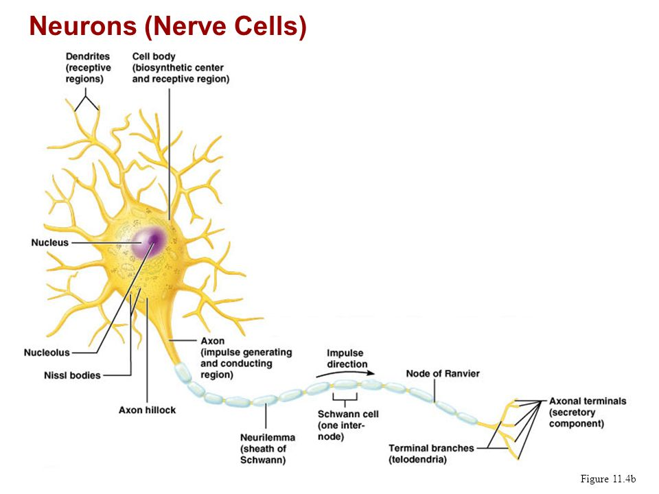 Neurons (Nerve Cells) Figure 11.4b