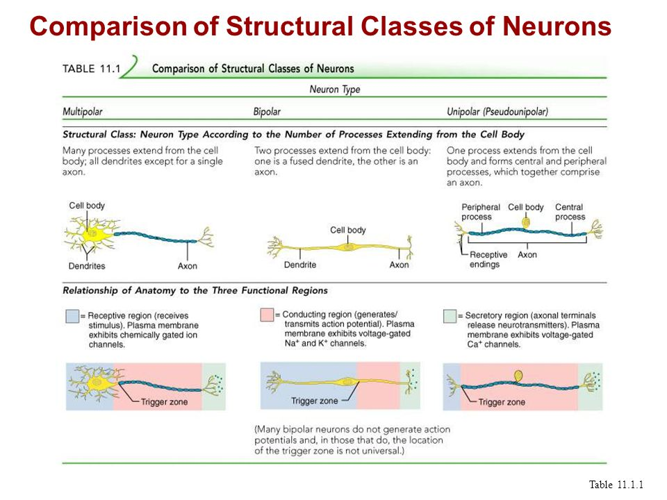 Comparison of Structural Classes of Neurons Table 11.1.1