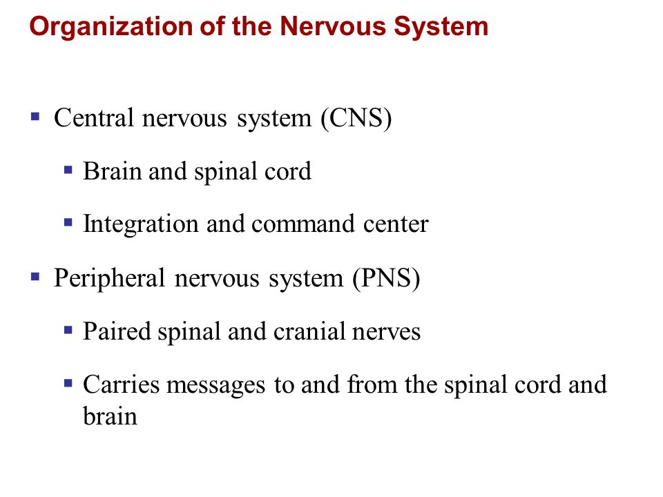 Organization of the Nervous System Central nervous system (CNS) Brain and spinal cord Integration and command center Peripheral nervous system (PNS) P