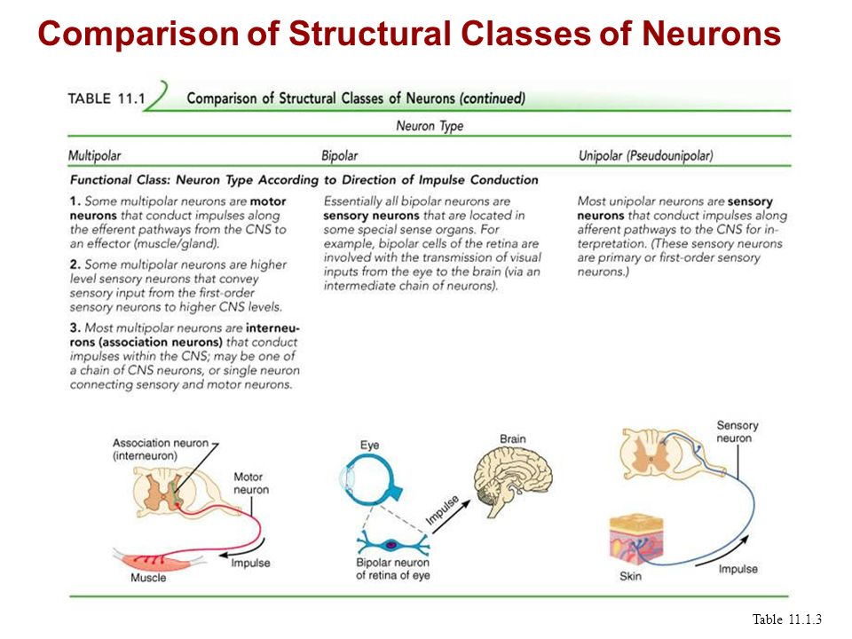 Comparison of Structural Classes of Neurons Table 11.1.3