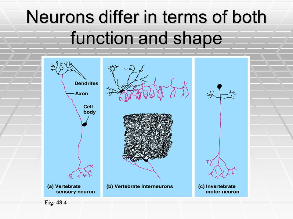 Neurons differ in terms of both function and shape Fig. 48.4