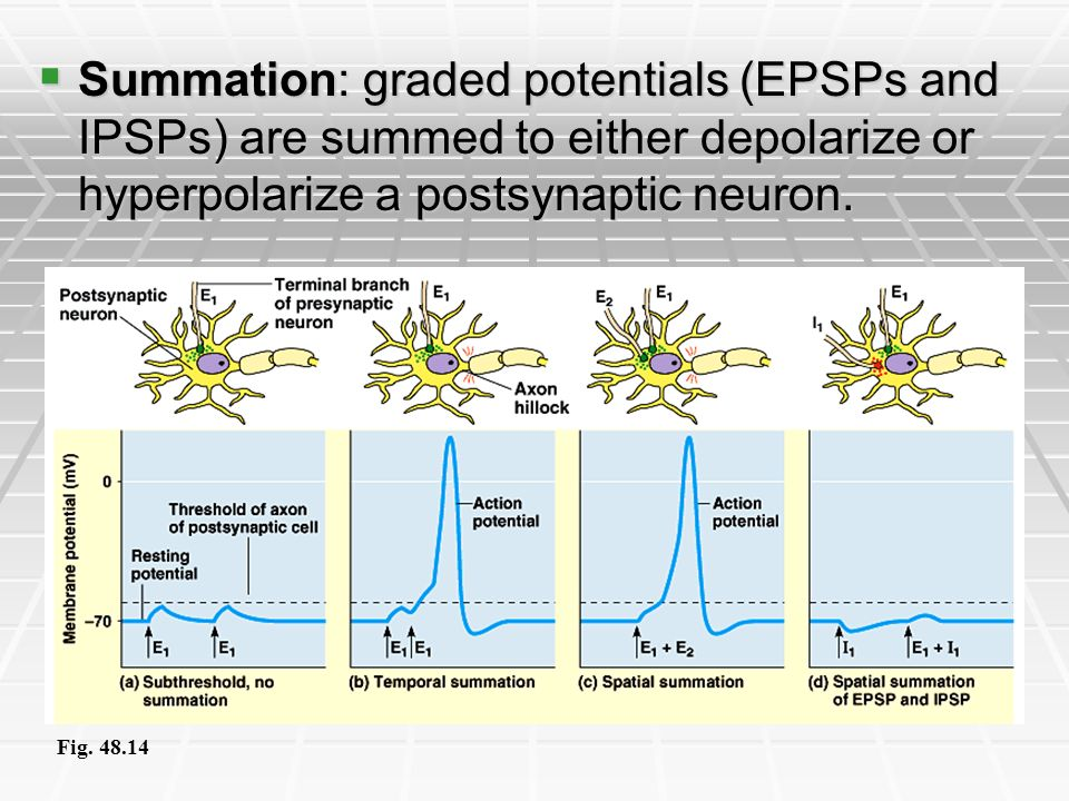 Summation: graded potentials (EPSPs and IPSPs) are summed to either depolarize or hyperpolarize a postsynaptic neuron. Summation: graded potentials (E