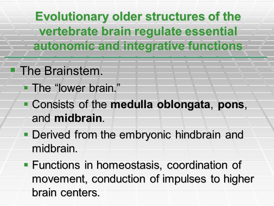 The Brainstem. The Brainstem. The lower brain. The lower brain. Consists of the medulla oblongata, pons, and midbrain. Consists of the medulla oblonga