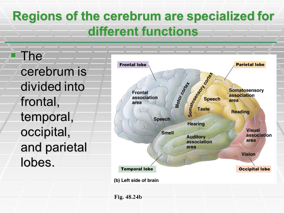 The cerebrum is divided into frontal, temporal, occipital, and parietal lobes. The cerebrum is divided into frontal, temporal, occipital, and parietal