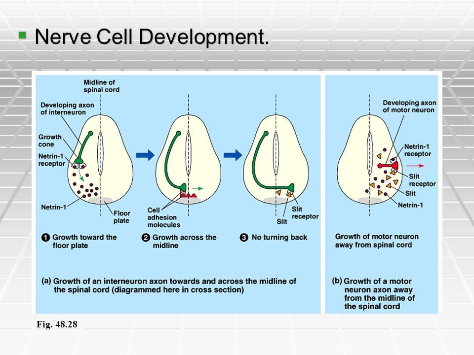 Nerve Cell Development. Nerve Cell Development. Fig. 48.28