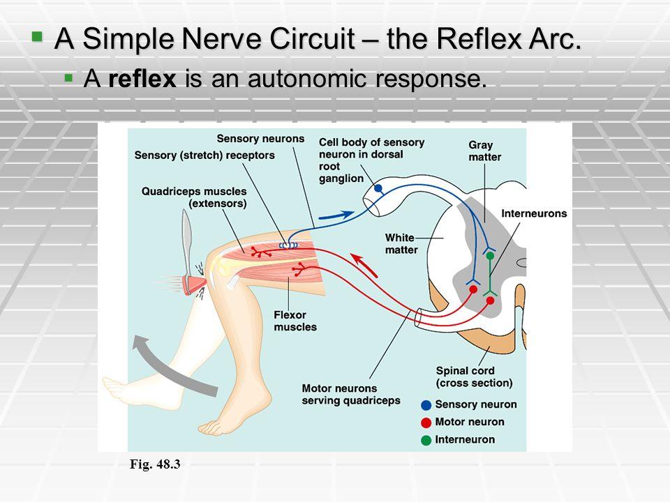 A Simple Nerve Circuit – the Reflex Arc. A Simple Nerve Circuit – the Reflex Arc. A reflex is an autonomic response. A reflex is an autonomic response