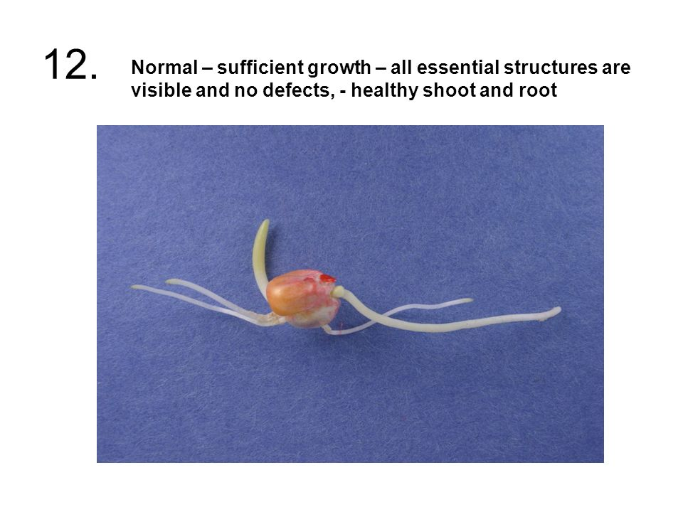 12. Normal – sufficient growth – all essential structures are visible and no defects, - healthy shoot and root