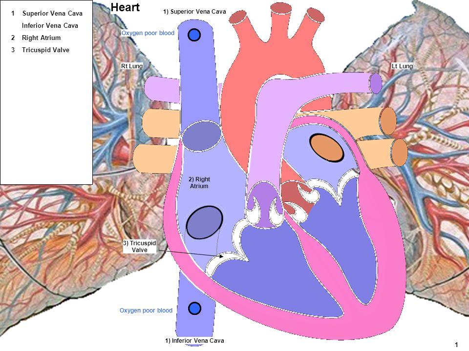 Lt Lung 3) Tricuspid Valve 1) Superior Vena Cava 1) Inferior Vena Cava 2) Right Atrium Heart Rt Lung Oxygen poor blood 1 Superior Vena Cava Right Atri