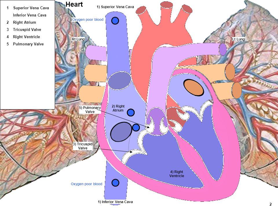 Lt LungRt Lung 4) Right Ventricle 5) Pulmonary Valve 3) Tricuspid Valve 1) Superior Vena Cava 1) Inferior Vena Cava 2) Right Atrium Heart Oxygen poor