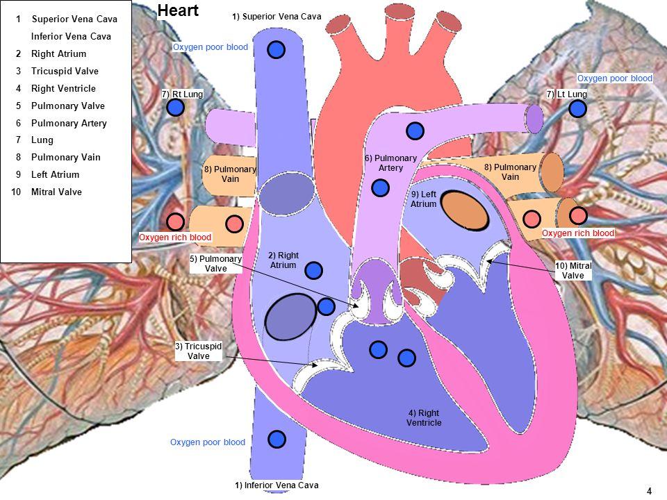 Lt LungRt Lung 4) Right Ventricle 5) Pulmonary Valve 3) Tricuspid Valve 1) Superior Vena Cava 1) Inferior Vena Cava 2) Right Atrium 6) Pulmonary Arter