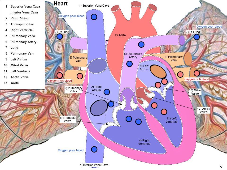 Lt LungRt Lung 4) Right Ventricle 5) Pulmonary Valve 3) Tricuspid Valve 1) Superior Vena Cava 1) Inferior Vena Cava 12) Aortic Valve 11) Left Ventricl