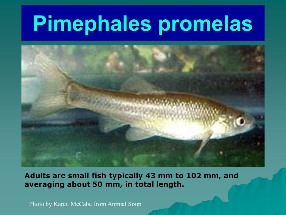 Pimephales promelas Photo by Karen McCabe from Animal Soup Adults are small fish typically 43 mm to 102 mm, and averaging about 50 mm, in total length