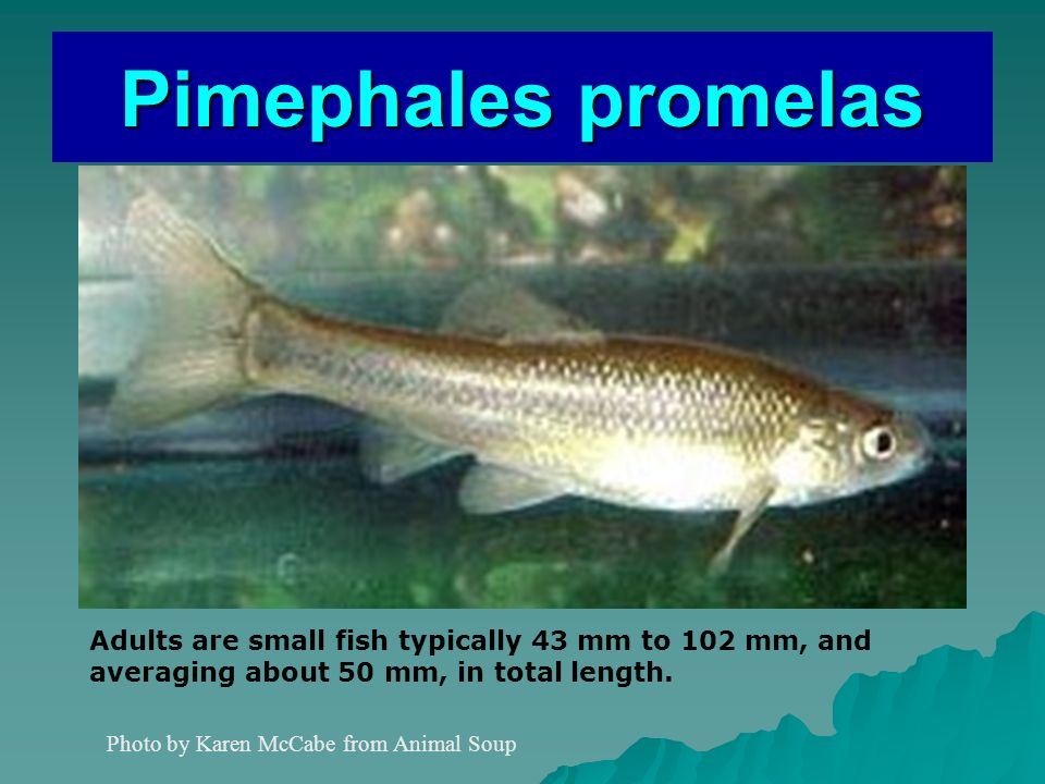 Pimephales promelas Photo by Karen McCabe from Animal Soup Adults are small fish typically 43 mm to 102 mm, and averaging about 50 mm, in total length.