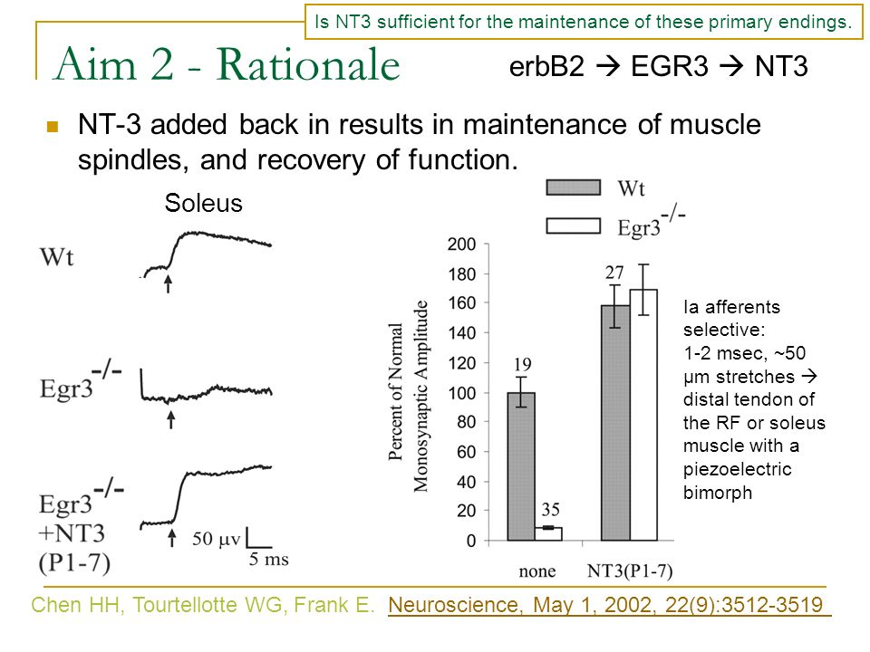 Aim 2 - Rationale NT-3 added back in results in maintenance of muscle spindles, and recovery of function. erbB2 EGR3 NT3 Chen HH, Tourtellotte WG, Fra