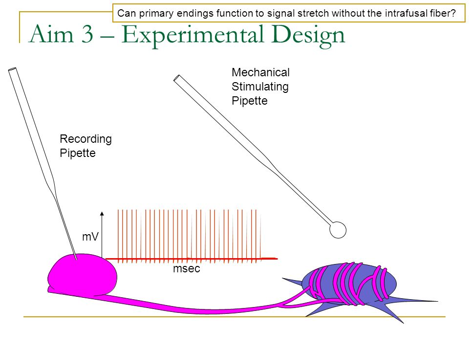 Aim 3 – Experimental Design Mechanical Stimulating Pipette Recording Pipette Can primary endings function to signal stretch without the intrafusal fib
