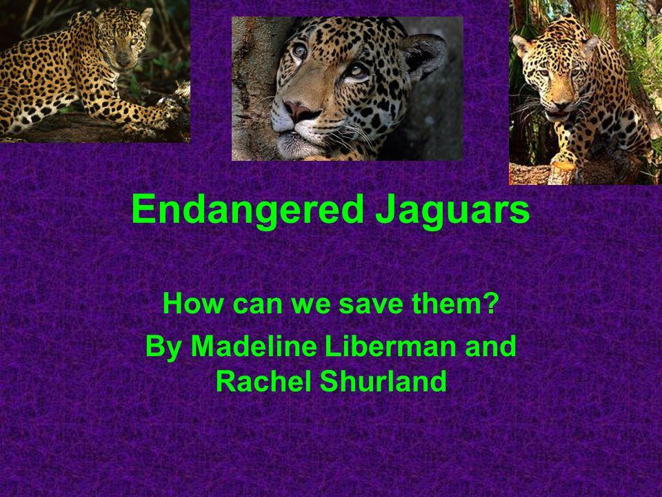 Jaguar Characteristics Jaguars are strong swimmers.