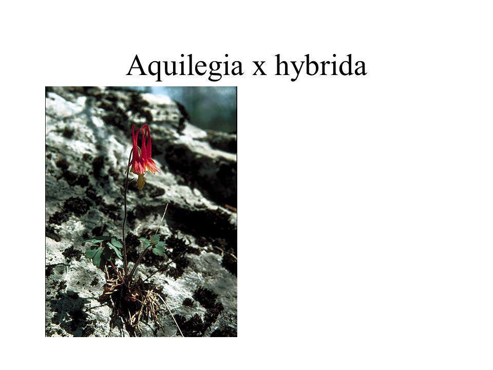 Aquilegia x hybrida