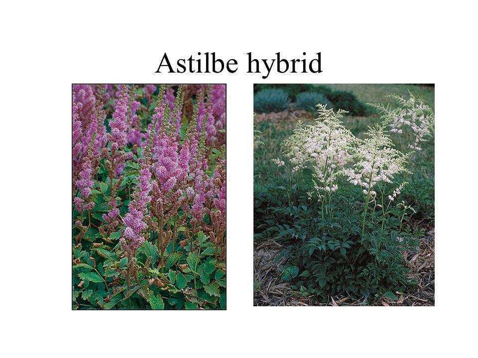 Astilbe hybrid