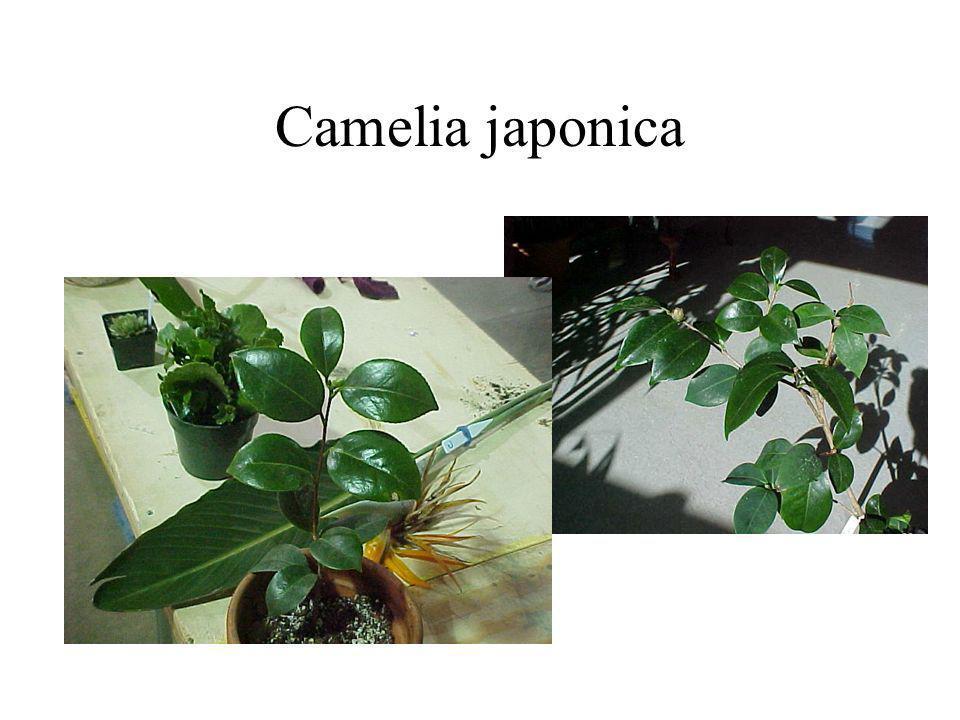 Camelia japonica
