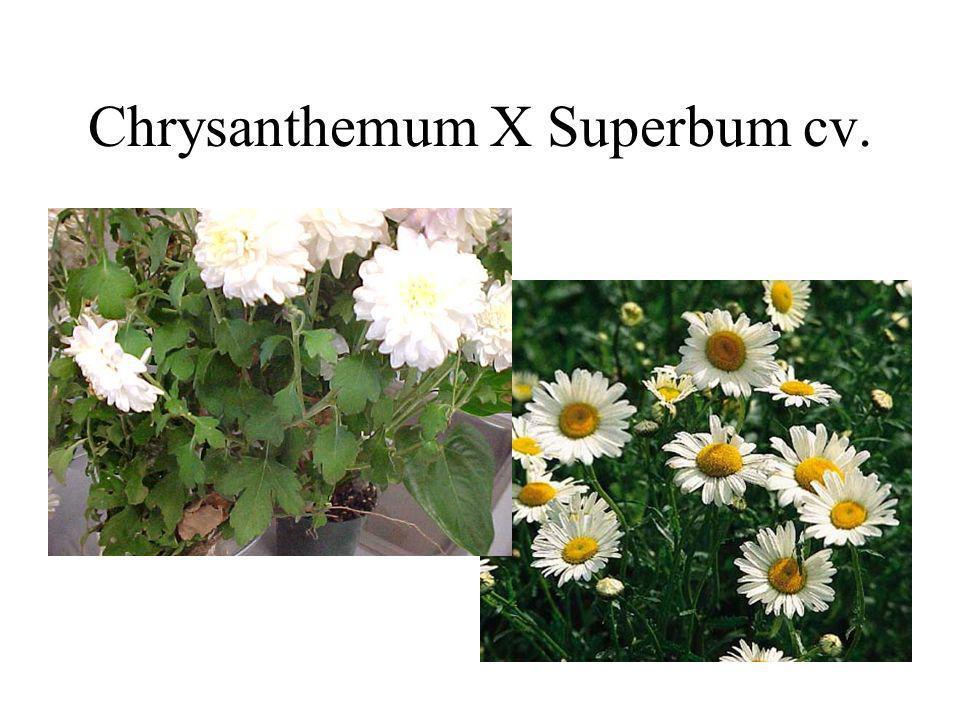 Chrysanthemum X Superbum cv.