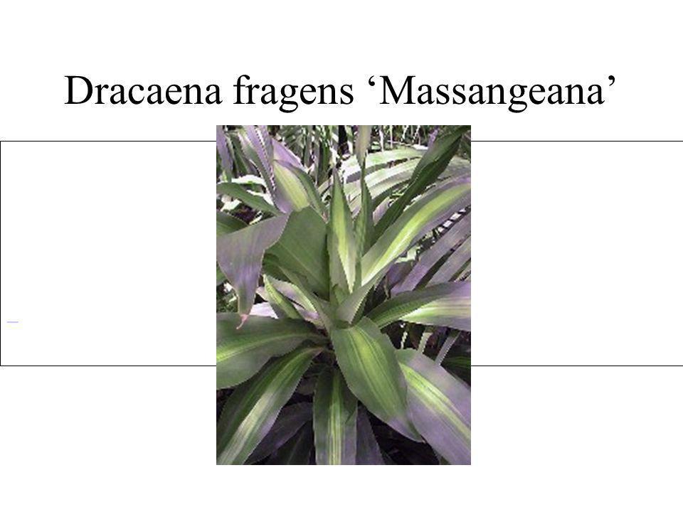 Dracaena fragens Massangeana