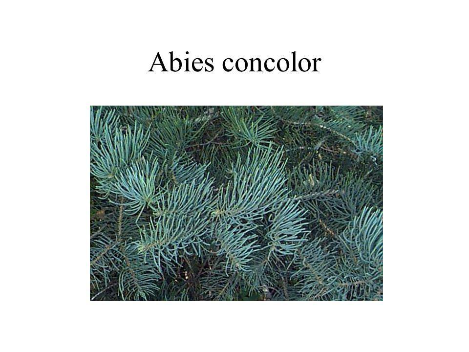 Abies concolor