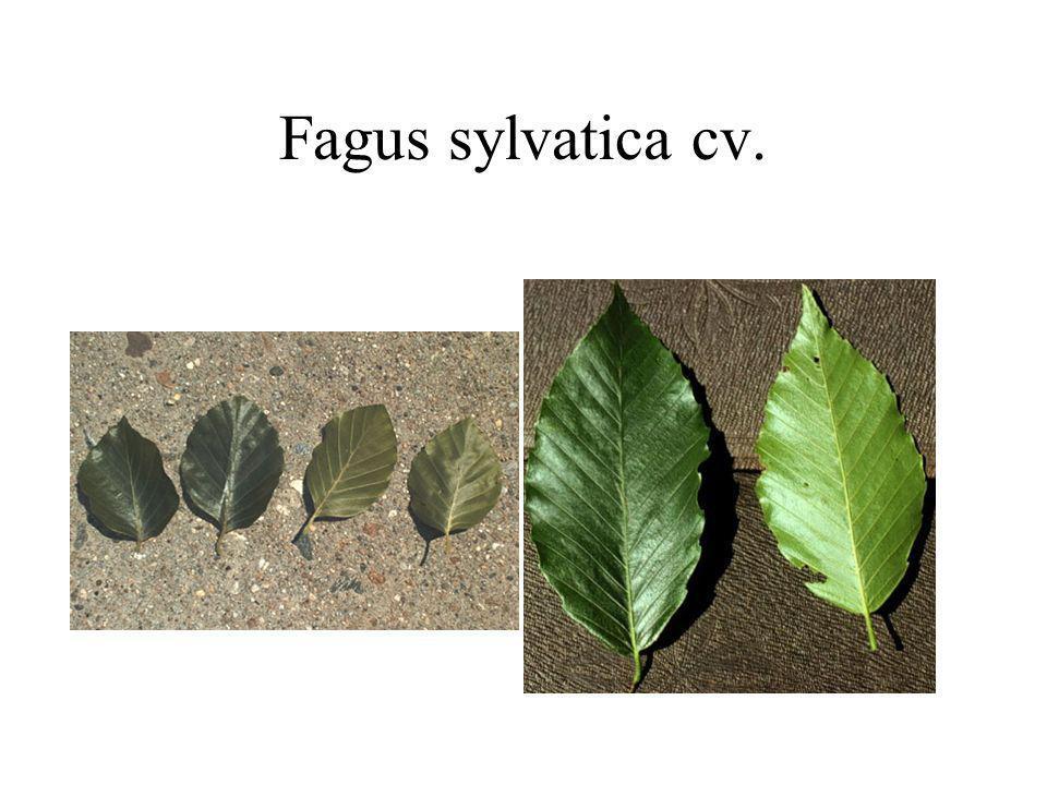 Fagus sylvatica cv.
