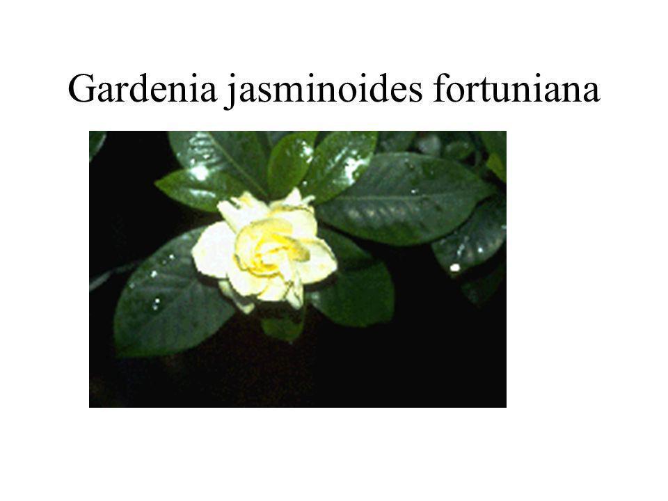 Gardenia jasminoides fortuniana