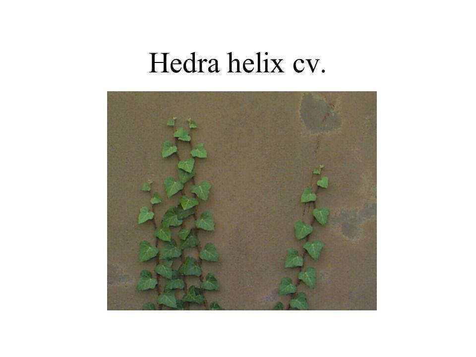 Hedra helix cv.
