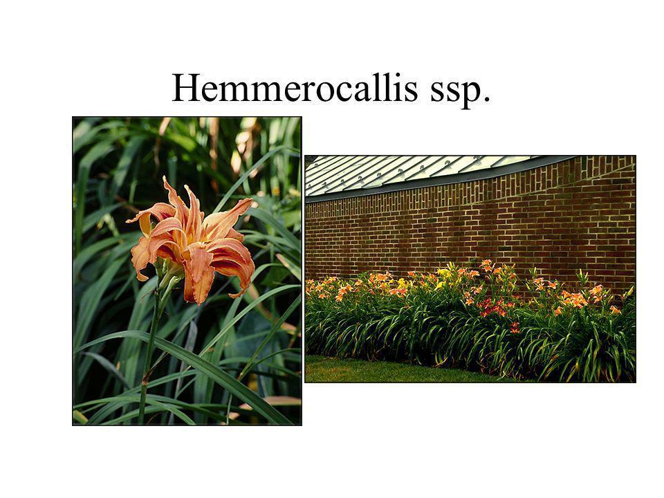 Hemmerocallis ssp.
