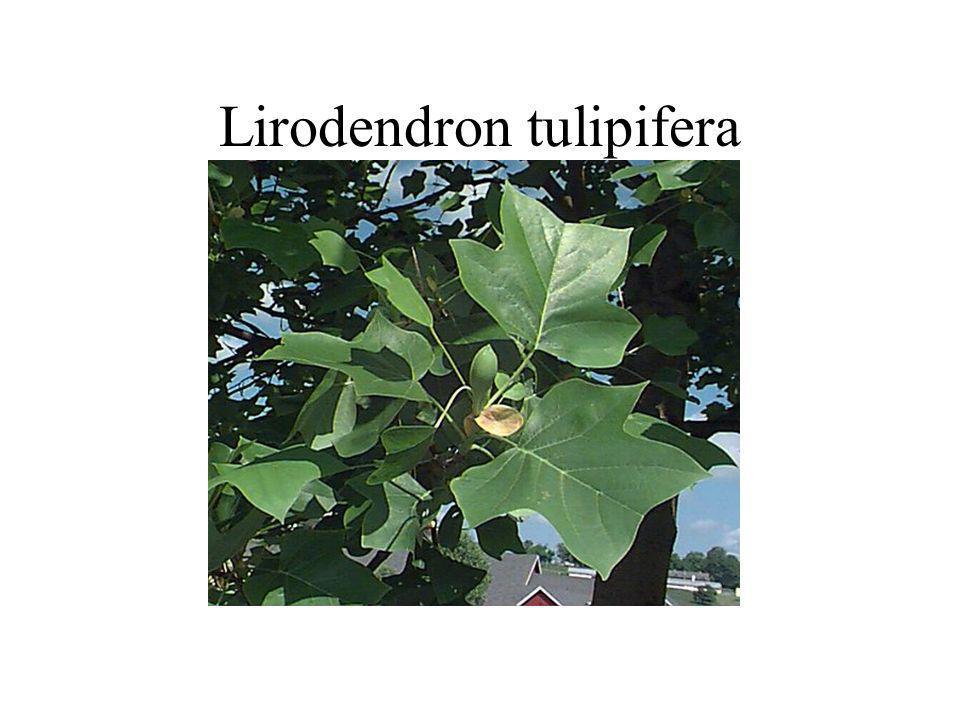 Lirodendron tulipifera