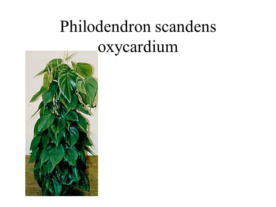 Philodendron scandens oxycardium