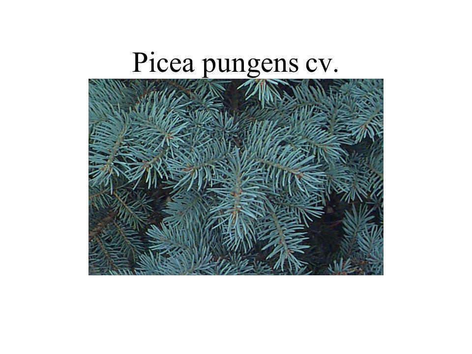 Picea pungens cv.