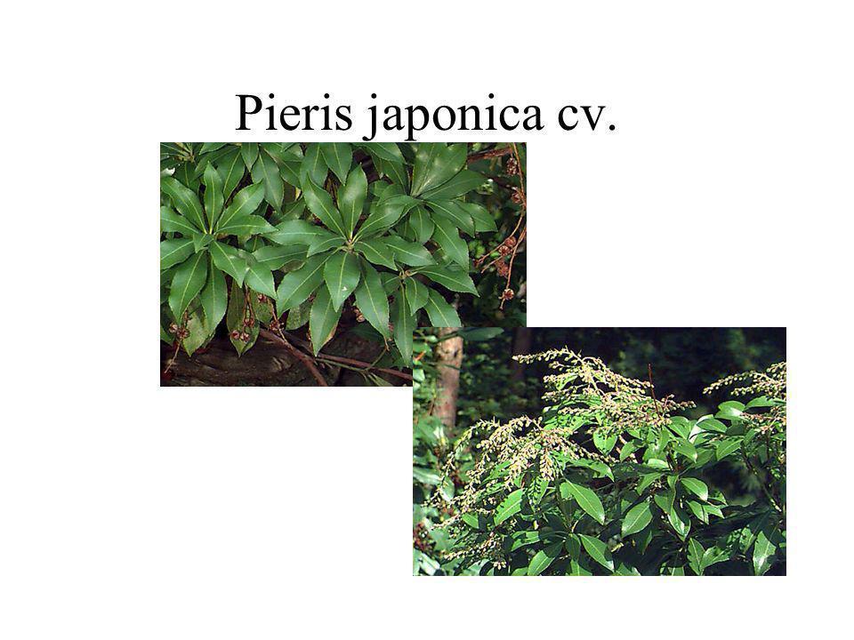 Pieris japonica cv.
