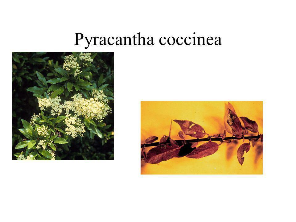 Pyracantha coccinea