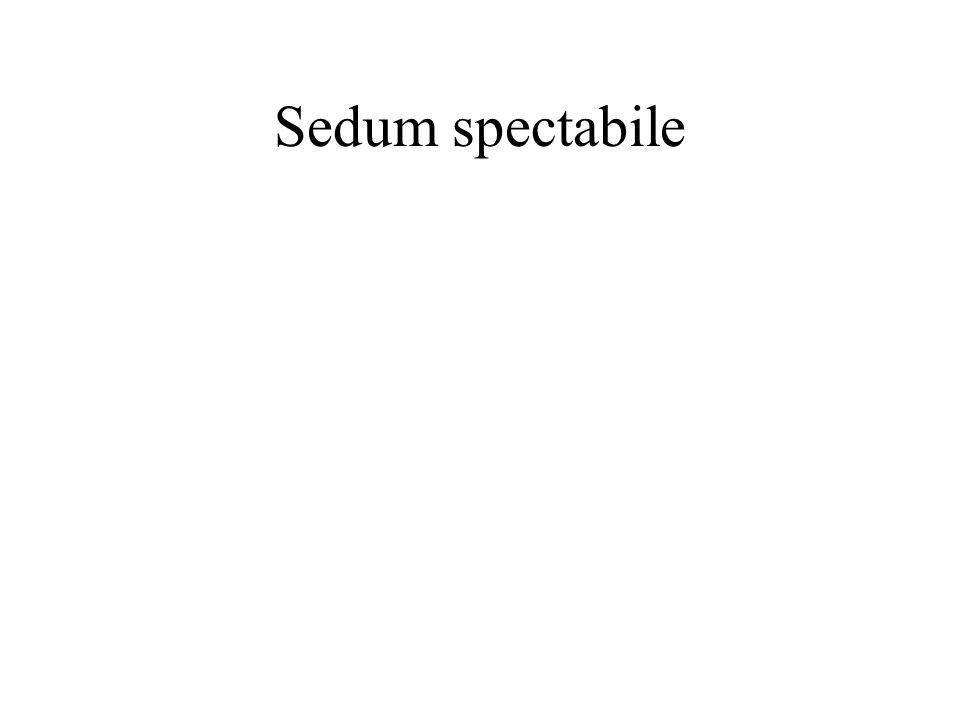 Sedum spectabile