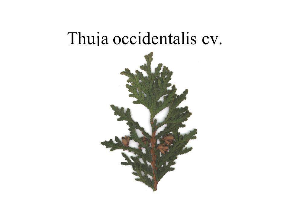 Thuja occidentalis cv.