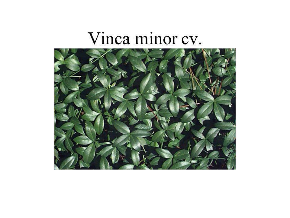 Vinca minor cv.
