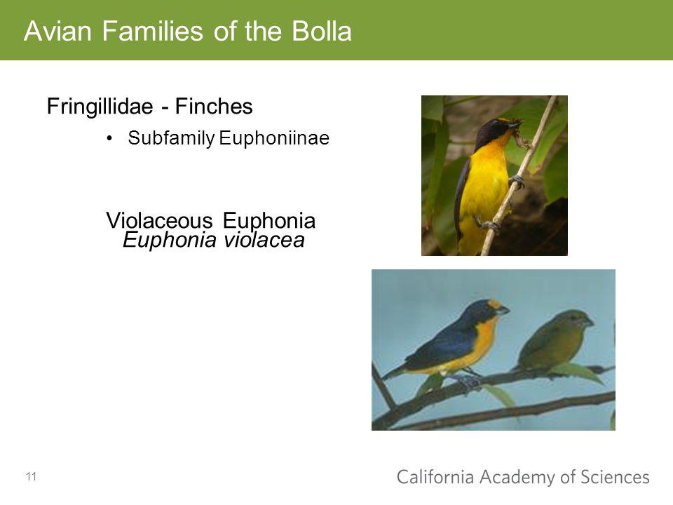 11 Fringillidae - Finches Subfamily Euphoniinae Violaceous Euphonia Euphonia violacea Avian Families of the Bolla
