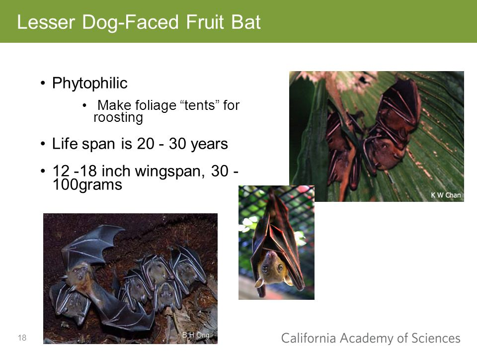 18 Lesser Dog-Faced Fruit Bat Phytophilic Make foliage tents for roosting Life span is 20 - 30 years 12 -18 inch wingspan, 30 - 100grams