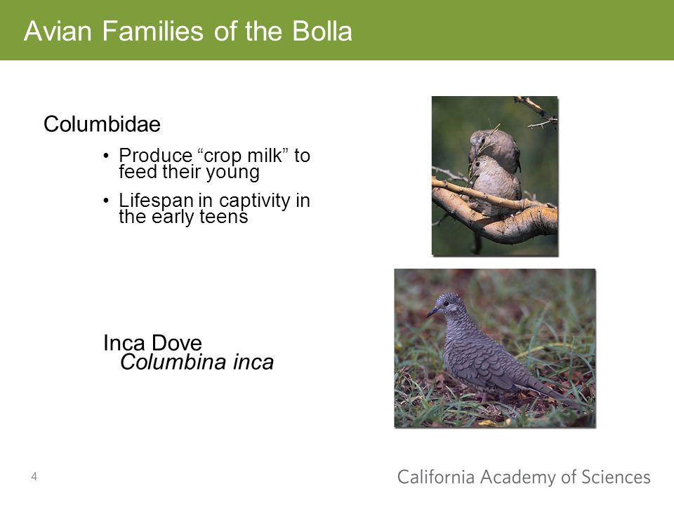 4 Columbidae Produce crop milk to feed their young Lifespan in captivity in the early teens Inca Dove Columbina inca Avian Families of the Bolla