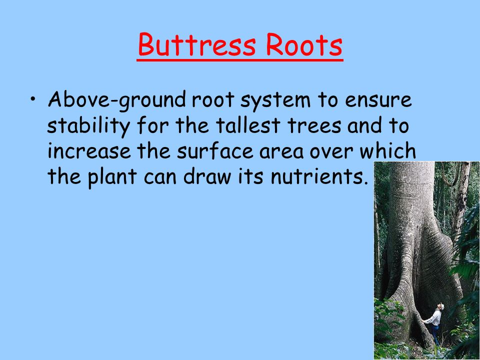 Buttress Roots Above-ground root system to ensure stability for the tallest trees and to increase the surface area over which the plant can draw its n