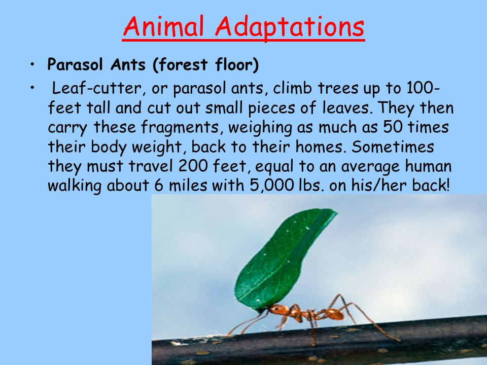 Animal Adaptations Parasol Ants (forest floor) Leaf-cutter, or parasol ants, climb trees up to 100- feet tall and cut out small pieces of leaves. They