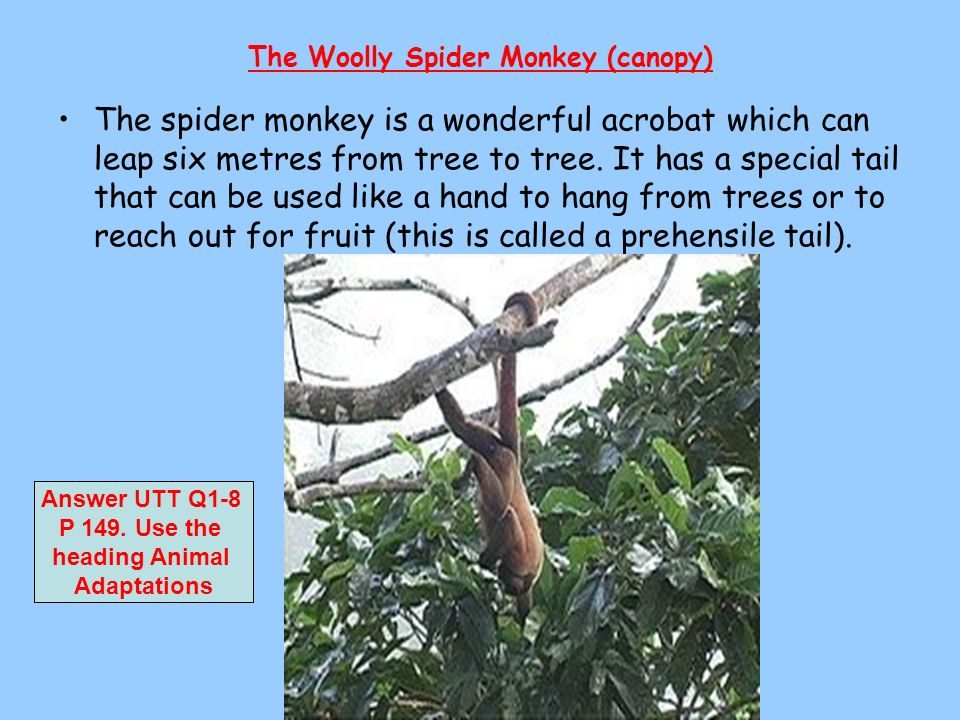 The Woolly Spider Monkey (canopy) The spider monkey is a wonderful acrobat which can leap six metres from tree to tree. It has a special tail that can