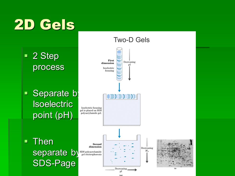 2D Gels 2 Step process 2 Step process Separate by Isoelectric point (pH) Separate by Isoelectric point (pH) Then separate by SDS-Page Then separate by