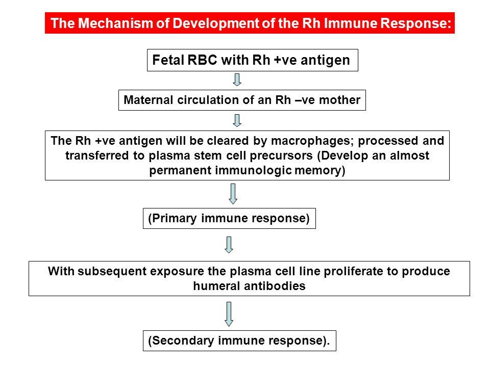 The Mechanism of Development of the Rh Immune Response: Fetal RBC with Rh +ve antigen Maternal circulation of an Rh –ve mother (Primary immune respons