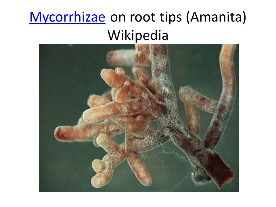 MycorrhizaeMycorrhizae on root tips (Amanita) Wikipedia