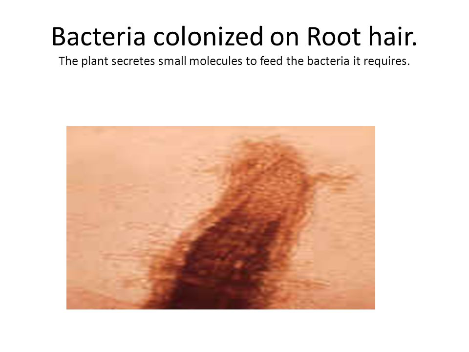 Bacteria colonized on Root hair. The plant secretes small molecules to feed the bacteria it requires.
